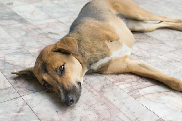 Defecte thaise bruine hond met drie poten