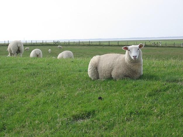 Deichschaf schapen zee ten noorden dijk