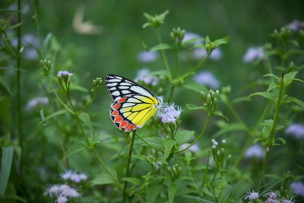 Delias eucharis de gewone jezebel is een middelgrote pieridevlinder die op bloemplanten rust