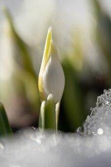Delicaat sneeuwklokje galanthus nivalis met ongeblazen knoppen in de sneeuw in zonnige dag, macro-opname