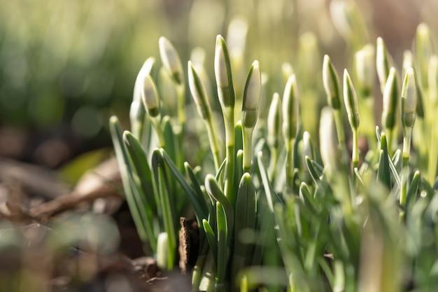 Delicaat sneeuwklokje galanthus nivalis met ongeblazen knoppen in zonnige dag, macro-opname. lente.
