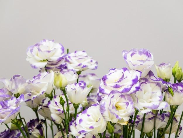 Delicate bloemen eustoma witte en violette kleur met kopie ruimte.