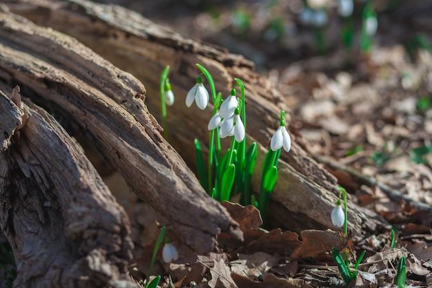 Delicate bloemen sneeuwklokjes groeiden op een oude boomstronk in het bos. lente landschap.