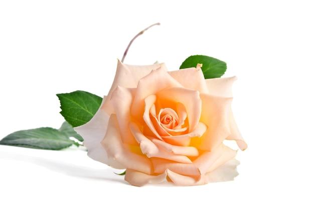 Delicate crème roos geïsoleerd op witte achtergrond