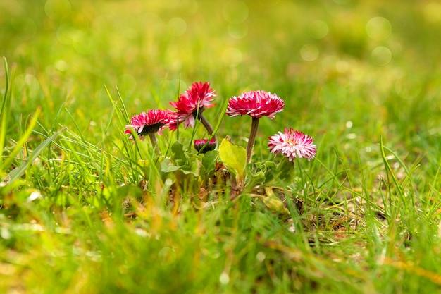 Delicate lente madeliefjebloemen in een weide onder gras