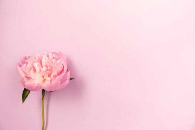 Delicate roze pioenbloem op lichtpaarse achtergrond.