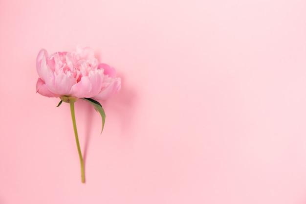 Delicate roze pioenroos bloem op licht roze achtergrond.