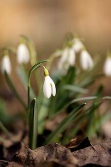 Delicate sneeuwklokjebloemen in het de lentebos