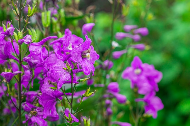 Delphinium elatum, delphinium menziesii. blauwe bloemen die in de weide op een groene grasachtergrond bloeien