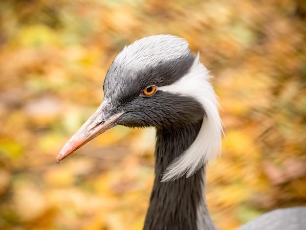 Demoiselle crane (grus virgo). detailopname