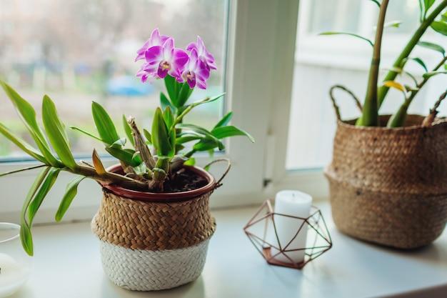 Dendrobium-orchidee. thuisplats die op vensterbank groeien. interieur met bloemen