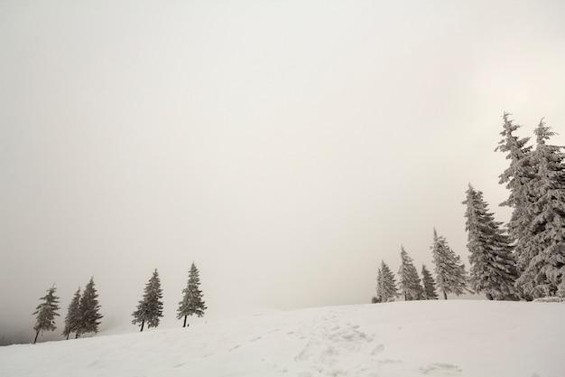 Dennen bedekt met vorst in diepe heldere sneeuw