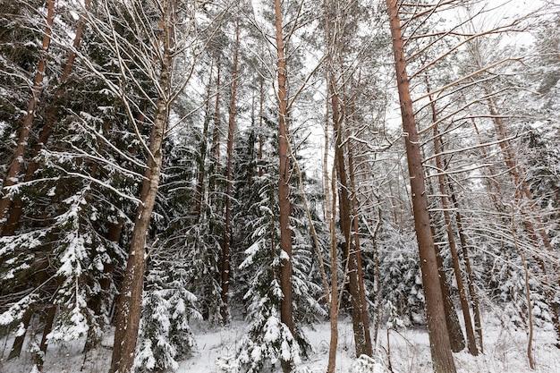 Dennen in het winterseizoen winterweer in het park of bos en dennensparren ijzige winter na sn