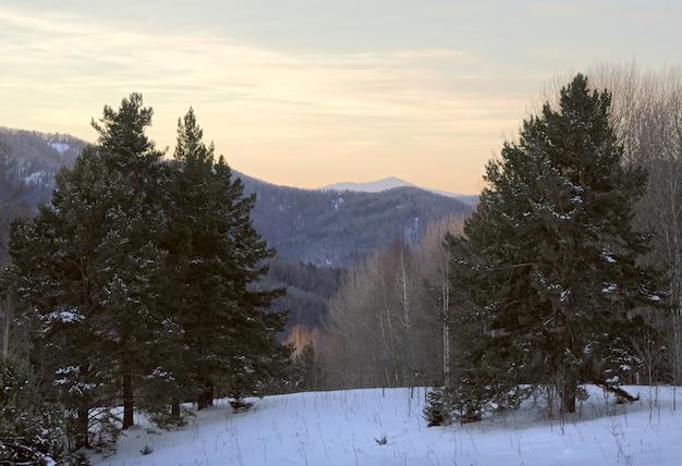 Dennen op de sneeuw tegen de bergen zachte gele blauwe kleur van de ochtendhemel
