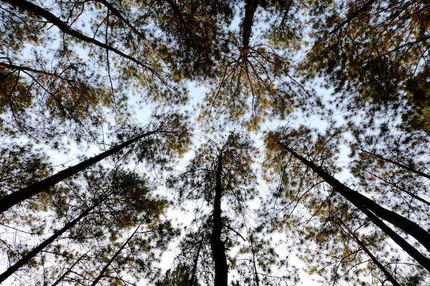 Dennenbomen