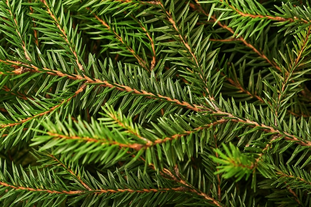 Dennenboom. achtergrond en textuur voor kerstboomtakken. bovenaanzicht. ruimte kopiëren.