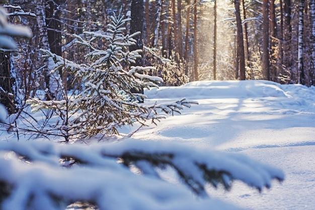 Dennenbos in de winter