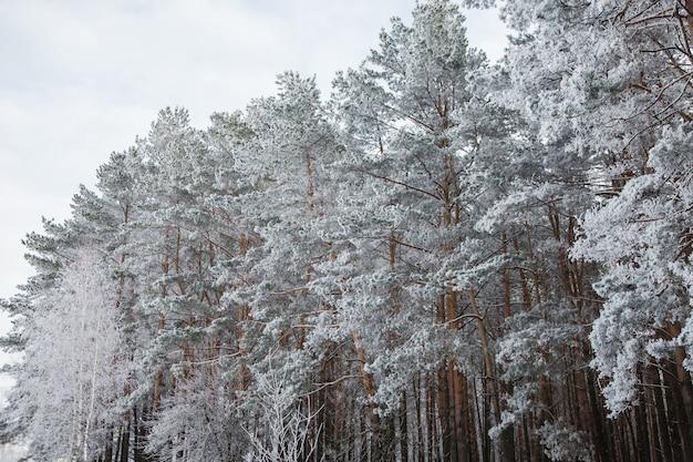 Dennenbos in de wintersneeuw, seizoenen, de schoonheid van de natuur, bomen in vorst, bevroren bomen, winter, park, pijnboomtak in sneeuw
