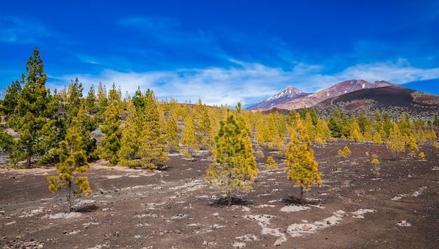 Dennenbos in het teide nationaal park in tenerife, canarische eilanden, spanje