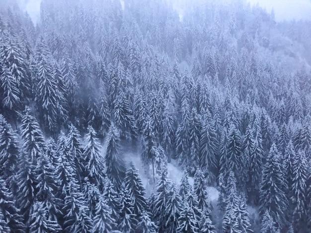 Dennenbos met de bomen bedekt met sneeuw op een mistige dag