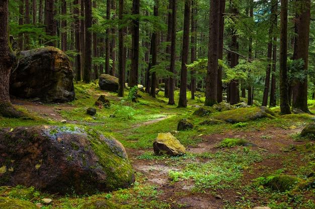 Dennenbos met rotsen en groen mos