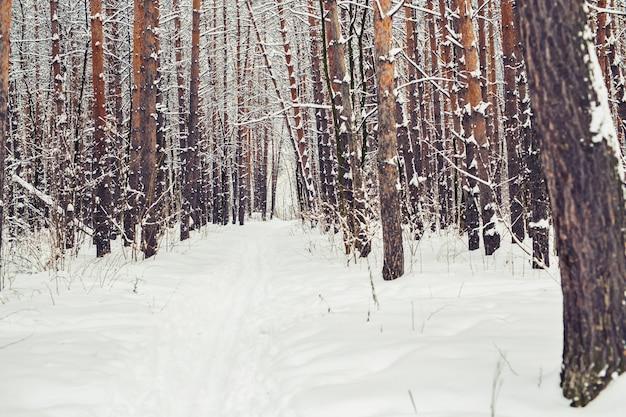 Dennenbos, winterbossen. kersttijd en december