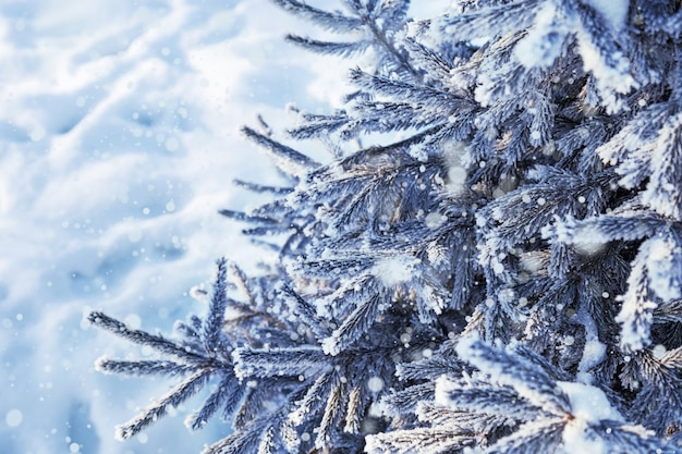 Dennennaalden bedekt met sneeuw