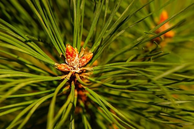 Dennentak close-up. achtergrond van groene jonge naald twig