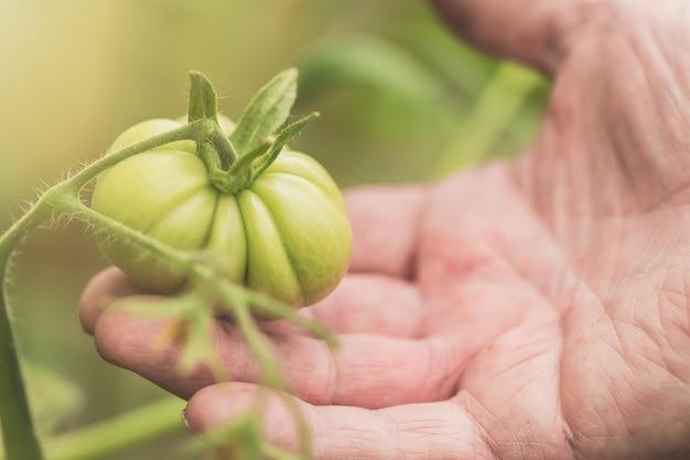 Detail die van gerimpelde mensenhand groene tomaat houden bij landbouwbedrijfserre