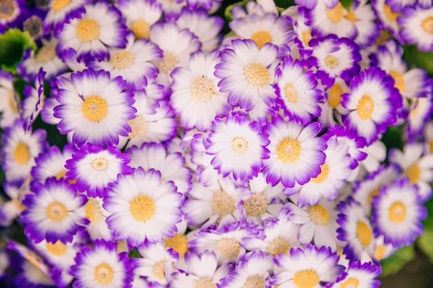 Detail van cinerariabloemen in bloei