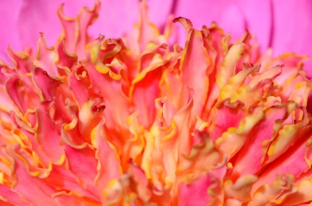 Detail van de bloem van paeonia