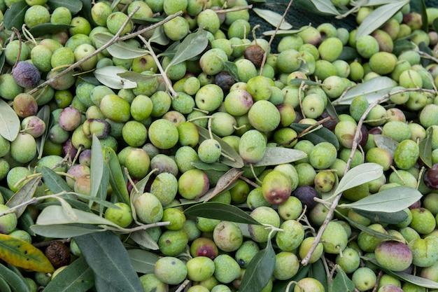 Detail van de olijfoogst