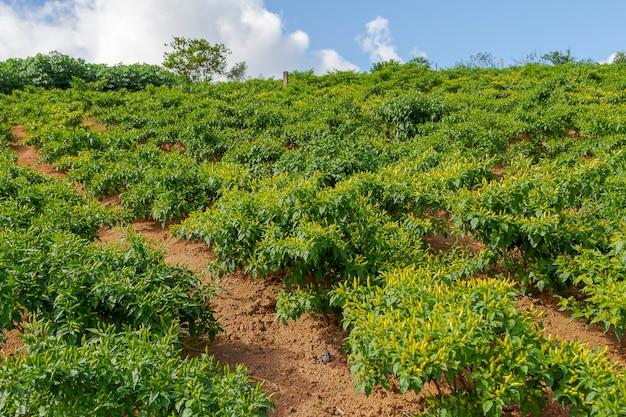 Detail van de pepergewas van capsicum chinense in guarani
