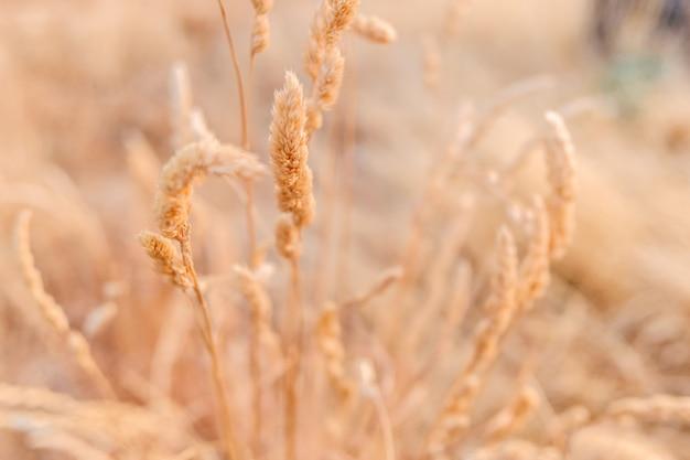 Detail van een droge plant aan het einde van de zomer