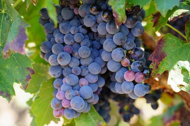 Detail van een druivencluster die van de boom in een wijngaard met zwarte druiven hangt