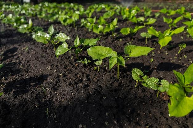 Detail van jonge groene zaailingen die ontkiemen in donkere grond, groeien in rijen in kleine moestuin