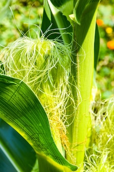 Detail van maïszijde jonge maïsveld maïsveld in de vroege ochtend lichte oogst