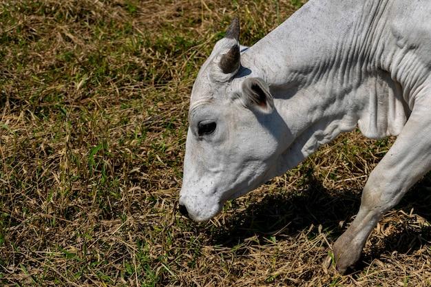Detail van nelore-koe die droog gras weiden.