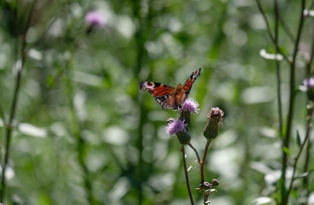 Detail van pauwvlinder op een paarse distelbloem in de natuurlijke omgeving