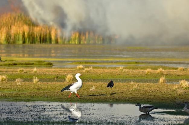 Detail van vuur van riet in het meer junin