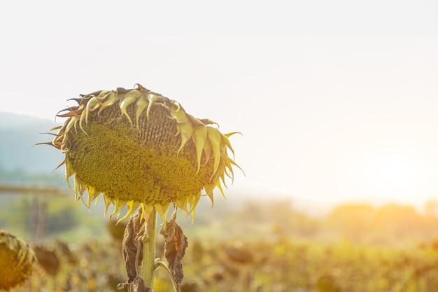 Details van gedroogde zonnebloem op een zonnebloemveld in de vlakte van chiang mai, thailand wacht op een droge dag Premium Foto