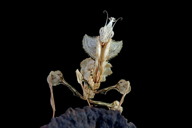 Devils flower mantis close-up op droge knop met zwarte achtergrond