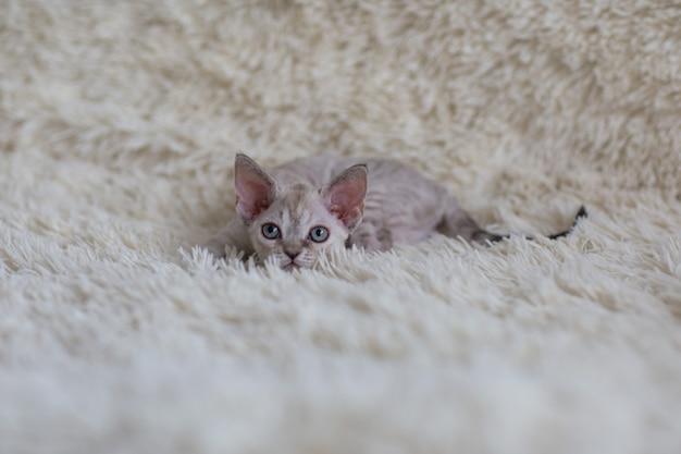 Devon rex kitten speelt verstoppertje op een deken