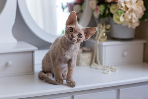 Devonrex-kitten zit op een toilettafel en kijkt in de ogen