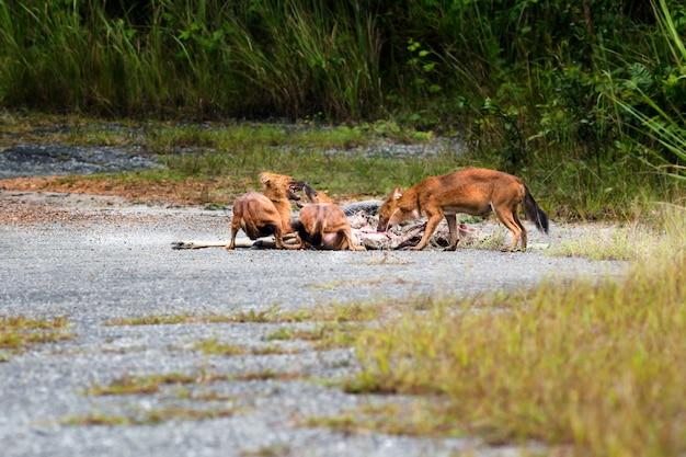 Dhole of aziatische wilde honden die een hertkarkas eten bij het nationale park van khao yai, thailand