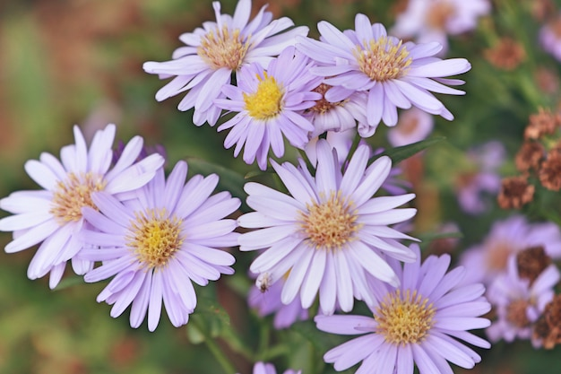 Diasy bloem in de natuur