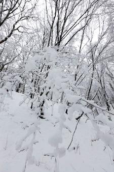 Dicht bos in de winter, bomen in het bos of park zijn bedekt met sneeuw in de winter