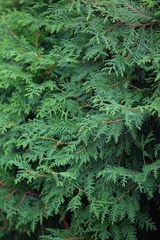 Dicht gebladerte en takken van thuja een plantenpatroon voor de achtergrond