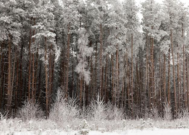 Dicht naaldbos met enkele loofbossen bedekt met sneeuw en ijs in het winterseizoen, de ochtend ijzig en koud