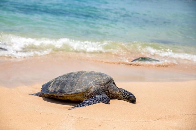 Dichte mening die van zeeschildpad op laniakea-strand op een zonnige dag, oahu, hawaï rusten